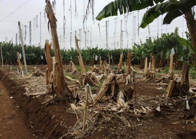 UNDERSTANDING THE DISSEMINATION OF PANAMA DISEASE IN THE PHILIPPINES