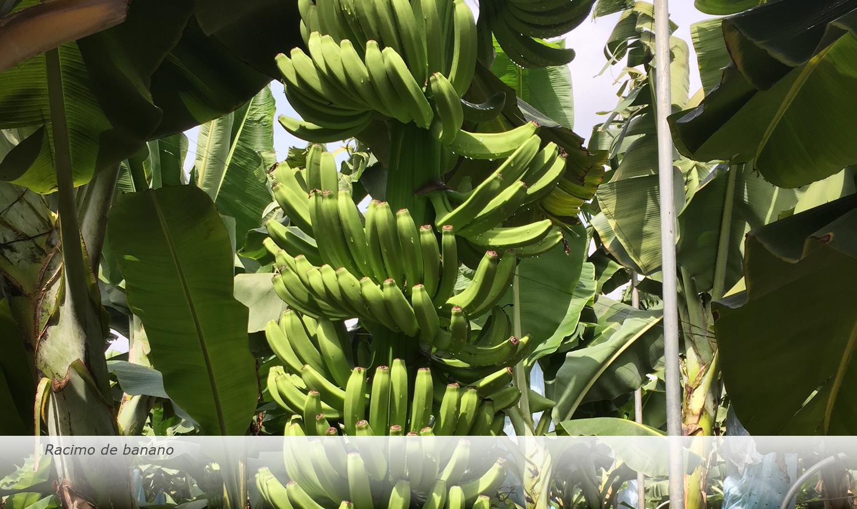 Banana-Biology-2017-es10