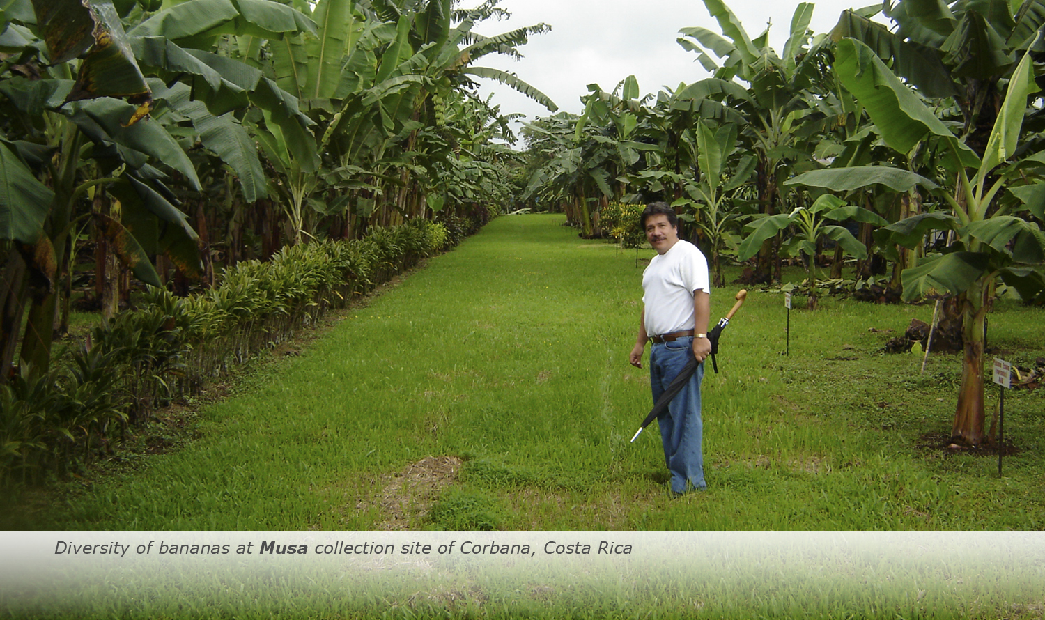 Info & Facts: Diversity of bananas at Musa collection site of Corbana, Costa Rica