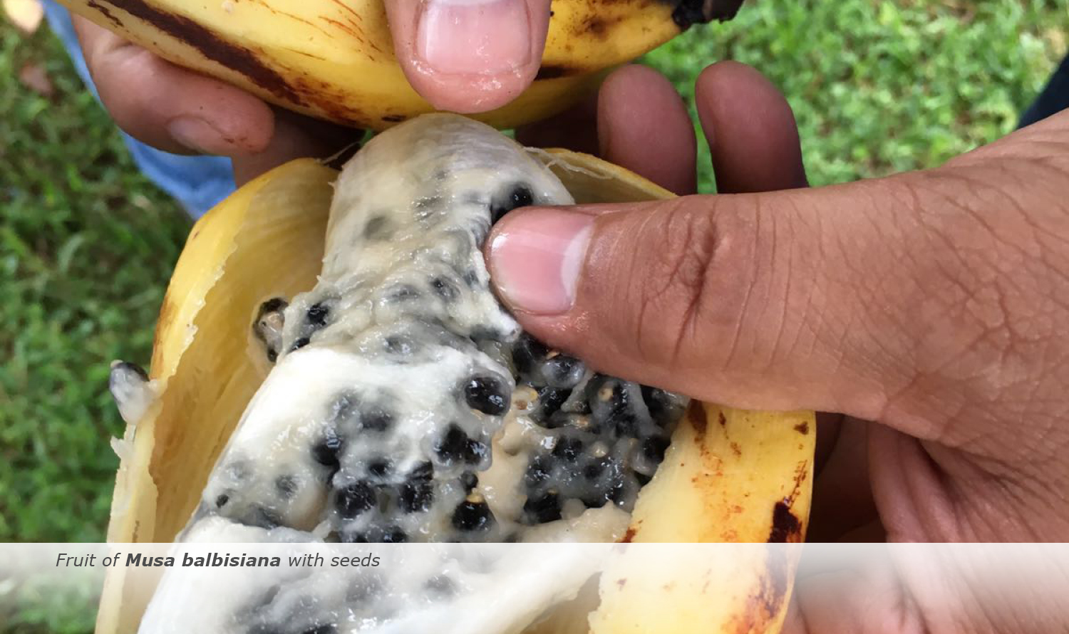 Info & Facts: Fruit of Musa balbisiana with seeds