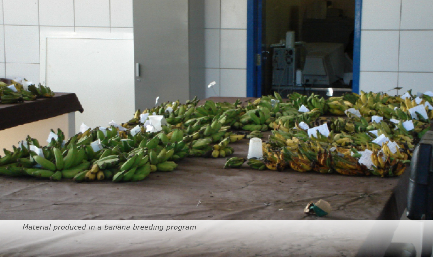 Info & Facts: Material produced in a banana breeding programme