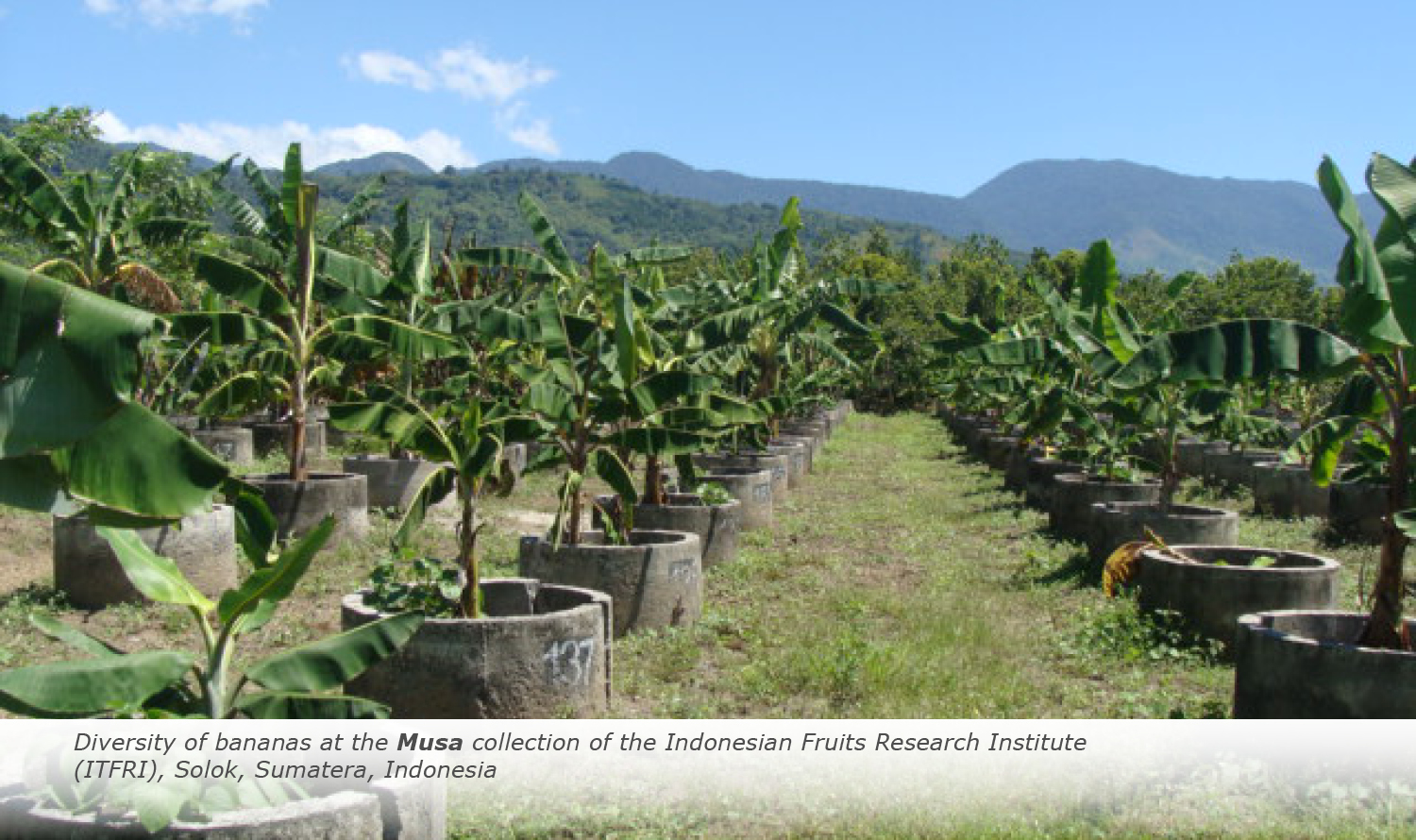 Info & Facts: Diversity of bananas at the Musa collection of the Indonesian Fruits Research Institute (ITFRI), Solok, Sumatera, Indonesia