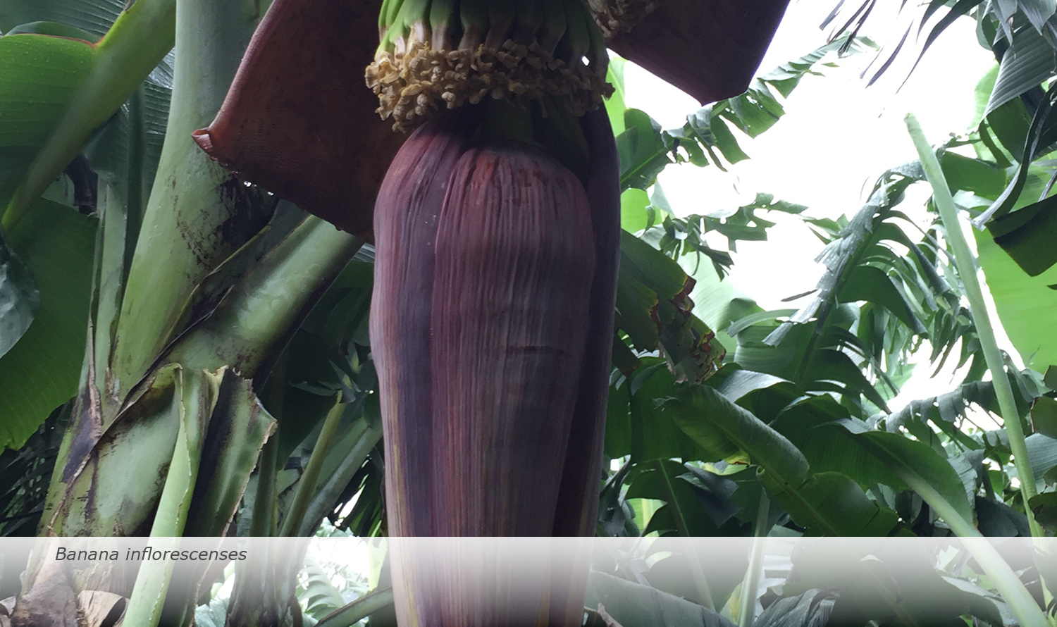 Info & Facts: Banana inflorescenses