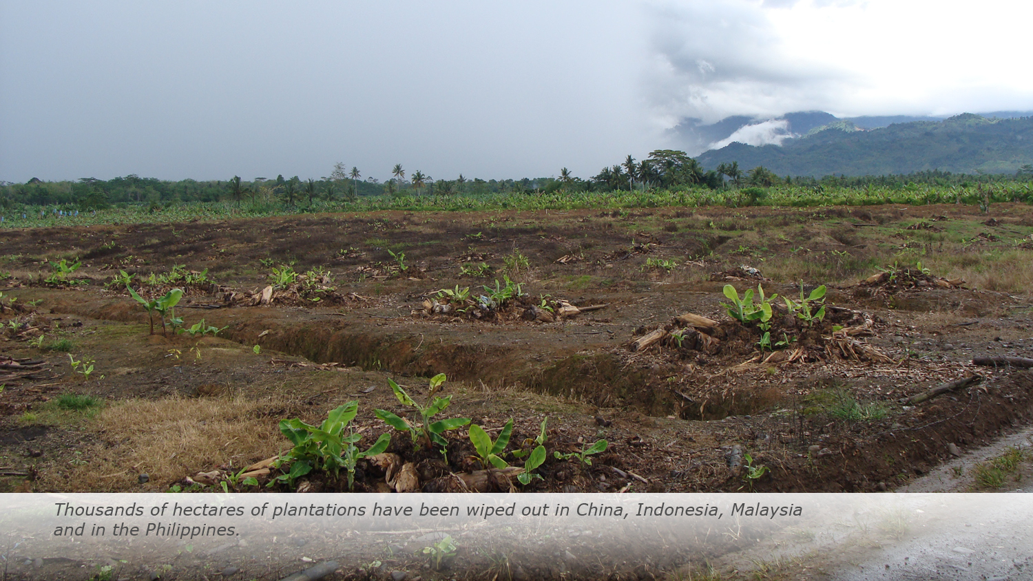 Thousands of hectares of plantations have been wiped out in China, Indonesia, Malaysia and in the Philippines.