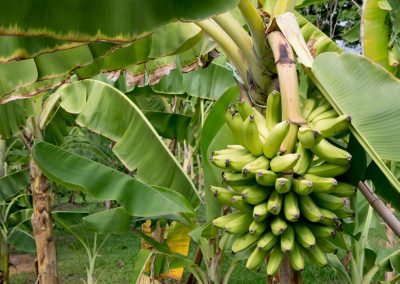banana trees, bunch