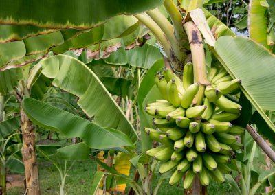 ¿Cómo podemos proteger la banana?