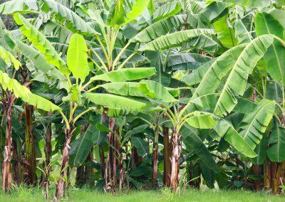 plantación de banano