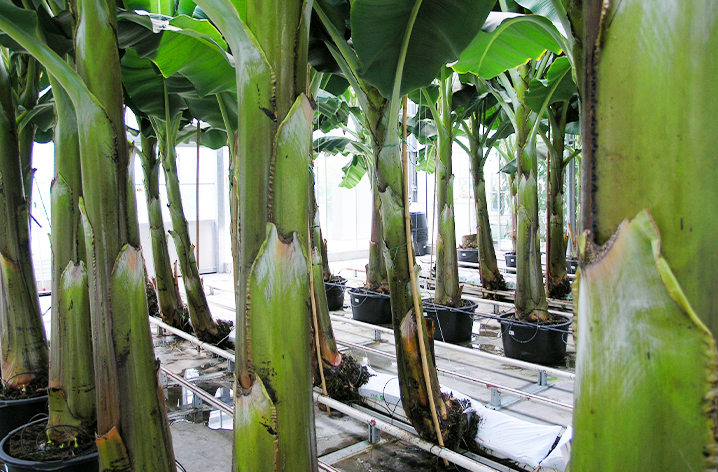 Dutch Greenhouse bananas grown above ground
