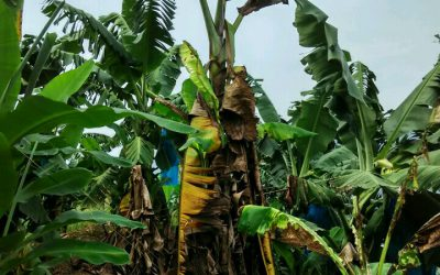 New field test detects banana fungus TR4 faster than ever